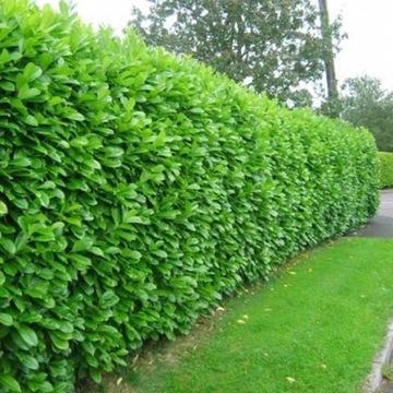 Laurowisnia Rotundifolia zimnozielona 40-60cm/9.99