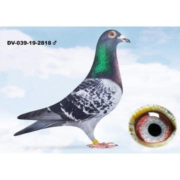 Gołębie pocztowe Oryg. Kulbacki z rodowodami