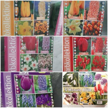 Cebulki kwiatów w zestawie hiacynt tulipan  i inne