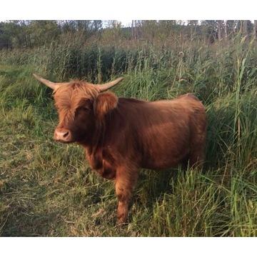 Highland Cattle, bydło szkockie , mięsne jałówka