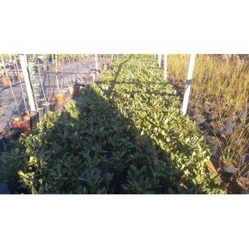Rododendron-Różanecznki 4L Donica Hurt- Detal Kilk