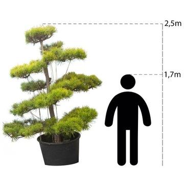bonsai ogrodowe, niwak, sosna