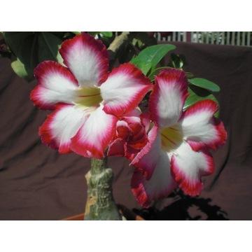 Adenium sadzonka róża pustyni + prezent nawóz