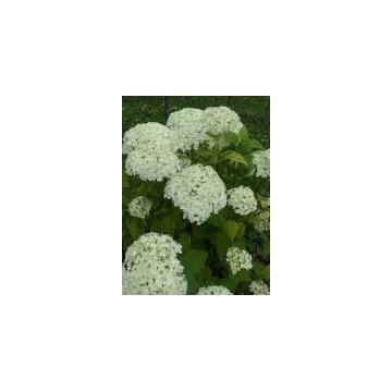 Hortensja krzewiasta/drzewiasta Annabelle C5