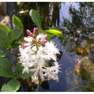 Bobrek trójlistkowy  ( Menyanthes trifoliata )