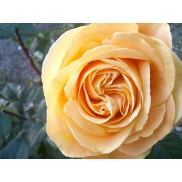 róża  kremowa   80 cm Producent!!!!
