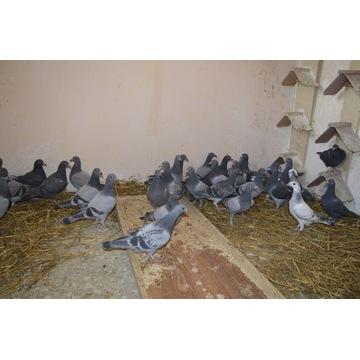 Młode gołębie pocztowe do lotu, samce, samice