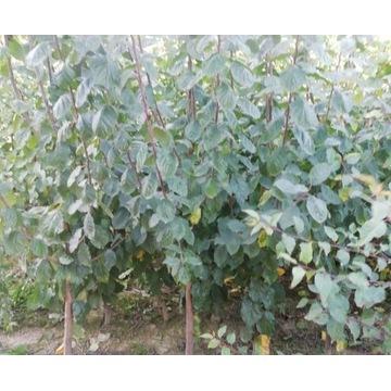 drzewka owocowe, jabłoń, śliwa, grusza, czereśnia