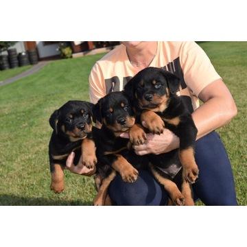 Rottweiler - śliczne szczeniaczki Pieski Suczki