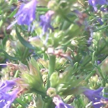 Hyzop lekarski sadzonki - Hyssopus officinalis