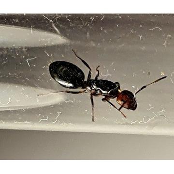 Camponotus lateralis - mrówki