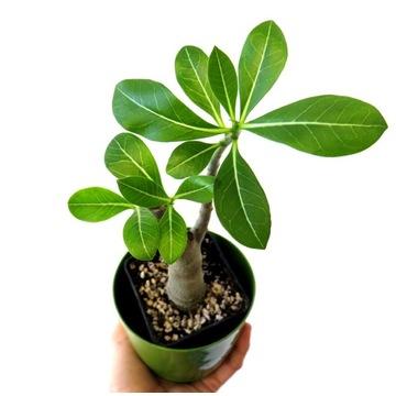 Adenium arabicum  minibaobab sadzonka + GRATIS