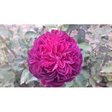 róża  parkowa bordowa 120 cm Producent!!!!