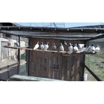 gołębie - Budapeszty kolczate