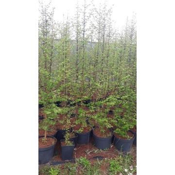 Metasekwoja Chińska sadzonki 5 letnie 2 m 230 cm
