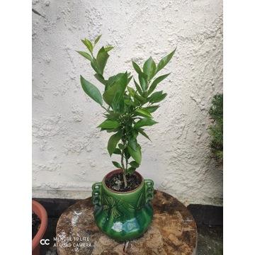 Cytryna drzewko