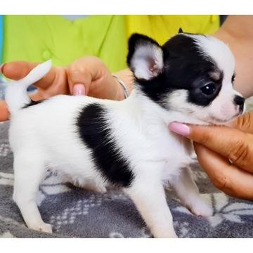 Chihuahua krótkowłosa Zkwp Fci