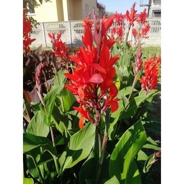 Kłącza kanny zielony liść czerwony kwiat president
