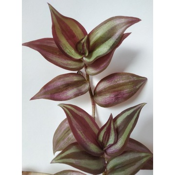 Ładna roślinka. Tradescantia zebrina.