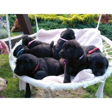 Labrador Retriever szczenięta. Labradory.