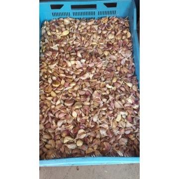 Czosnek Harnaś Ząbki  1kg do spożycia sadzenia