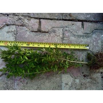 Bukszpan sadzonki do formowania 25-30 centymetrów