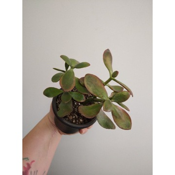 Grubosz 'tricolor'/ crassula ovata