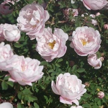 Róża gęstokolczasta Papula (w doniczce)