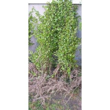 Sadzonki Brzozy  Pakiet 40 szt 100-150 cm ogród