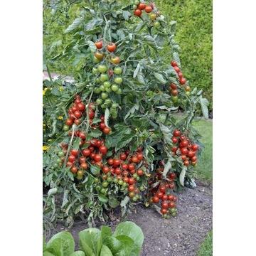 """Pomidorek KOKTAJLOWY """"wieloletni"""" - będą owoce"""