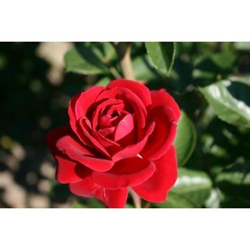 Piękna Polska Róża pnąca czerwona