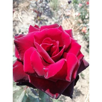 róża  bordowa aksamitna   80 cm Producent!!!!