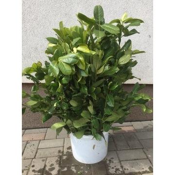 LAUROWIŚNIA wschodnia 'Rotundifolia' szadzonkaXXL