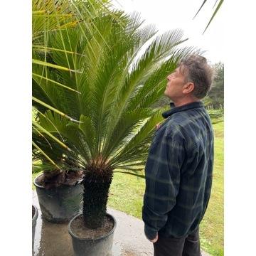Palma Cycas Revoluta Saganowiec