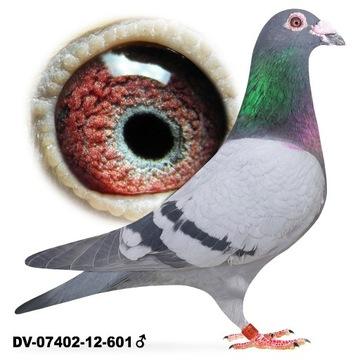 Samiec DV-2012 z rozpłodu OKAZ gołąb gołębie poczt