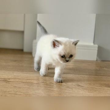 Kot koty brytyjskie kociaki brytyjczyk Gdańsk