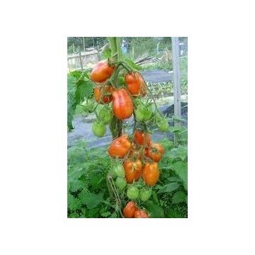 pomidor LIMA- sadzonki doniczkowe