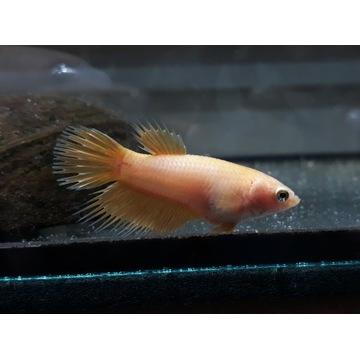 bojownik - samica - Crowntail złota