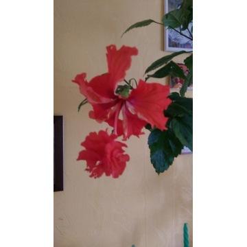 Róża chińska EL CAPITOLO
