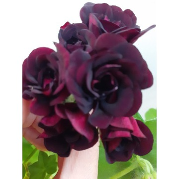 Pelargonia bluszczolistna Royal Black Rose