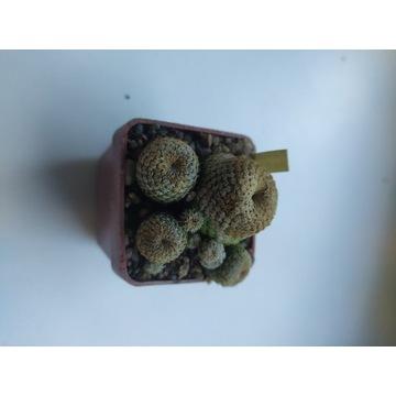 Kaktusy Sulcorebutia heliosoides