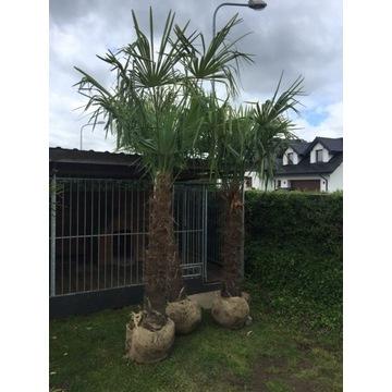 Mrozoodporna palma do ogrodu