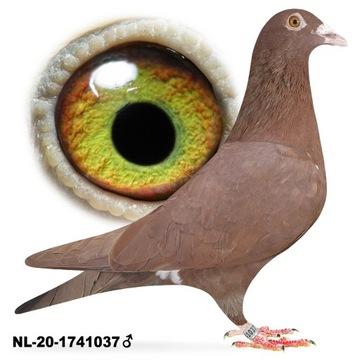 Samica Mulemans NL-2020 gołab gołębie pocztowe
