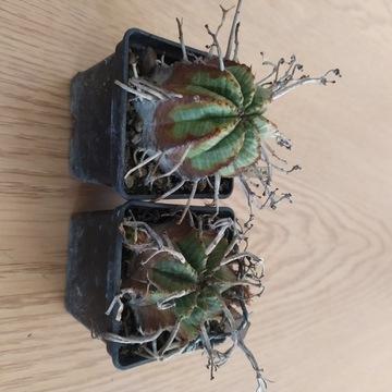 Kaktusy Euphorbia meloformis