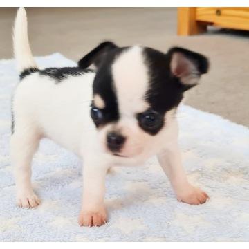 Chihuahua krótkowłosy zkwp fci