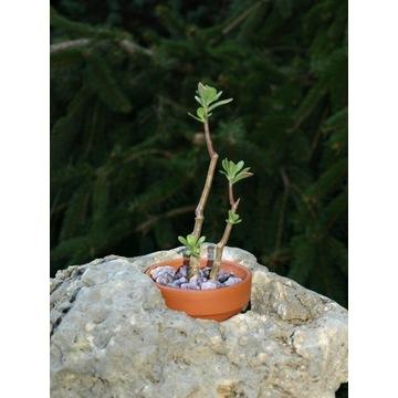 SEDUM OXYPETALUM  CAUDEX  ametyst /dobre na bonsai