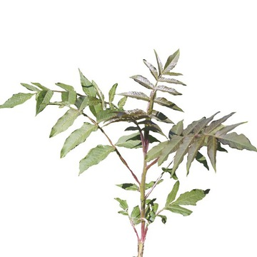 Sumak octowiec,  duży ozdobny krzew 100-110 cm