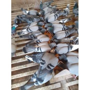 Sprzedam gołębie pocztowe