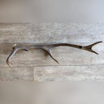 Róg zrzut jelenia tyka poroże rogi 70cm