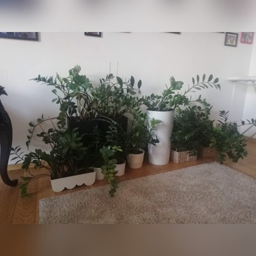 KWIATY Zamioculcas zamiifolia